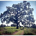 Oak Tree ~ Amador County by Barbara Wyeth