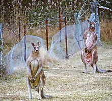 Eastern Grey Kangaroos 2 by Deborah McGrath
