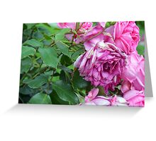 Pink roses in the garden. natural background. Greeting Card