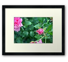 Pink roses in the garden. natural background. Framed Print