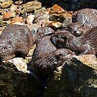 Sleepy Otters..........Devon UK by lynn carter