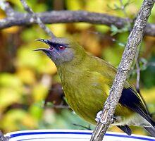 So Handome - Male Bellbrid - NZ by AndreaEL