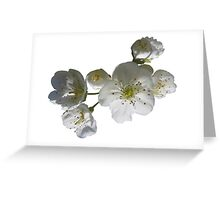 cherries in blosssom on white background Greeting Card