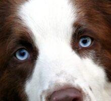 Blue Eyed Collie - NZ Sticker