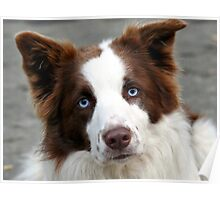 Blue Eyed Collie - NZ Poster