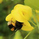 Bee on Laburnum by AnnDixon
