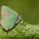 Green Hairstreak by Neil Bygrave (NATURELENS)