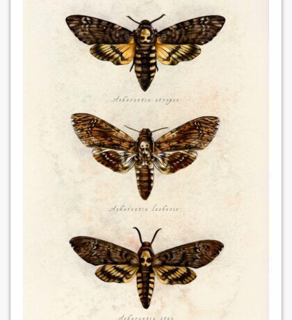 Death's Head Hawk Moths Sticker