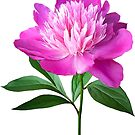 One Pink Peony by Susan Savad
