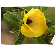 Yellow Wild Hibiscus Flower  Poster
