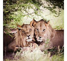 Loving pair of lions Photographic Print