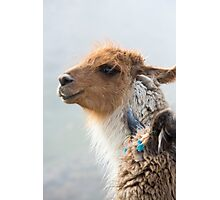 Portrait of beautiful Llama, Argentina Photographic Print