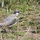 Lovely Lapwing by CreativeEm