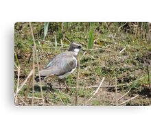 Lovely Lapwing Canvas Print