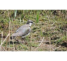 Lovely Lapwing Photographic Print