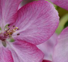 pink apple tree blossoms Sticker