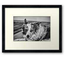 Gwennie - Merle Border Collie Framed Print