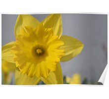 daffodil in the spring Poster
