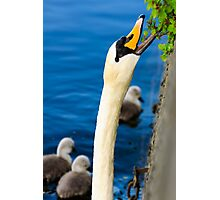 Mother Swan Foraging for and With her Babies (Cygnets) Photographic Print