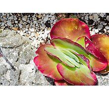 Sliced Succulent Photographic Print