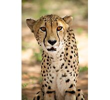Cheetah in Harnas Photographic Print