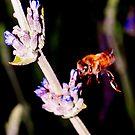 Bee on lavender by ♥⊱ B. Randi Bailey