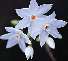 Paperwhite Winter Flowers by Joy Watson