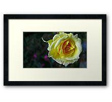 Yellow Tea Rose Framed Print