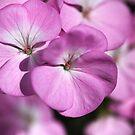 Wonderful Uncommon Geranium by Joy Watson