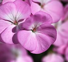 Wonderful Uncommon Geranium by Joy Watson