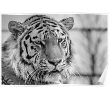 Amur Tiger (B&W 1) Poster