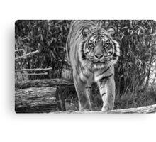 Sumatran Tiger (B&W 2) Canvas Print