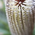 Banksia 3 by Jaxybelle