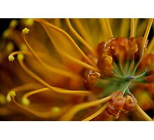 Orange Grevillea Photographic Print