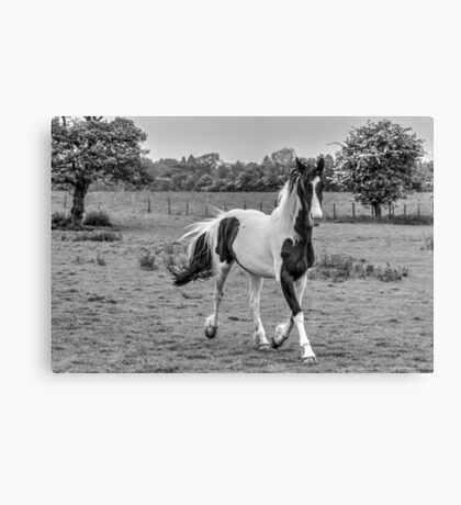 Cantering Piebald (1) - Black & White version Canvas Print