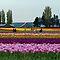 Colourful tulip fields