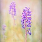 bluebonnet by Russ Styles