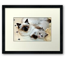 Ragdoll Mom and baby playing Framed Print