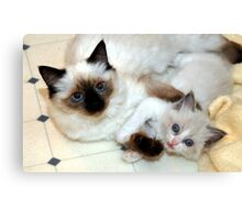 Ragdoll Mom and baby playing Canvas Print