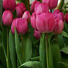 Vibrant pink Tulips by Marjorie Wallace