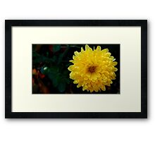 Yellow Chrysanthemum Framed Print