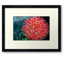 Red Mimosa Framed Print