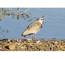 Southern Lapwing Photographic Print