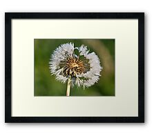 Dandelion with dew drops. Framed Print