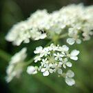 fragile flowers - white by Babz Runcie