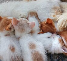 Little Balls of Fur! by Vicki Spindler (VHS Photography)