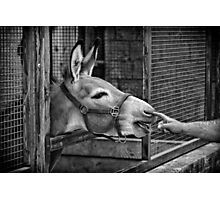 The Donkey Photographic Print