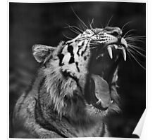 Tiger black and white Poster