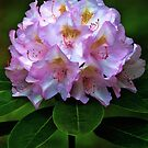 Pink Rhododendron Blossom by T.J. Martin