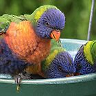 Parrots, Leith Park Victoria 20160228 6666  by Fred Mitchell